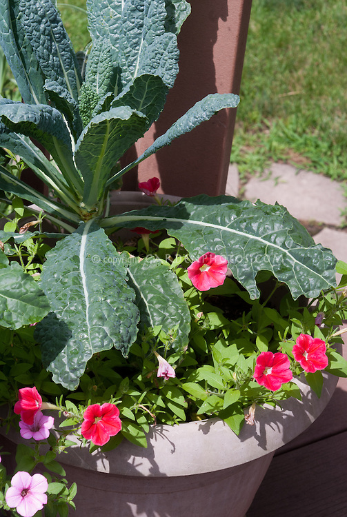 Kale vegetable Lacinata in pot container with flowers of Callibrachoa red and pink