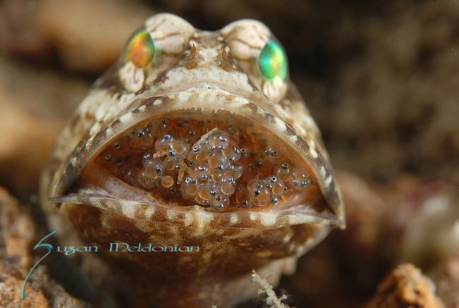 Jawfish w Eggs-Teeth