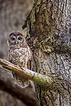 USA, California, Pt. Reyes National Seashore, (Strix occidentalis caurina)<br />