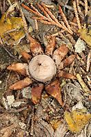 Daisy Earthstar - Geastrum floriforme