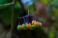 Poisonous Fruits and Berries