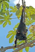 Black Howler Monkey feeding in Belize