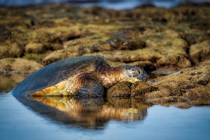 Green sea turtle. resting on shore. Hawaii, The Big Island