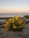 Seaside goldenrod soaks up the first light of day on Goose Island, VA.