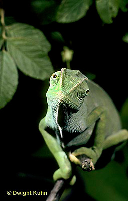 CH05-012z  African Chameleon - with eyes rotating separately - Chameleo senegalensis