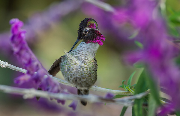 Male Anna's Hummingbird (Calypte anna) preening feathers while perched on garden flower.  California.  Fall.