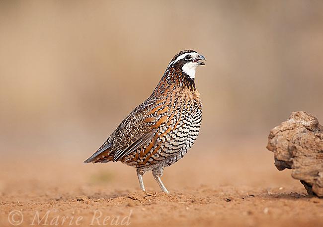 Northern Bobwhite (Colinus virginianus) male calling, Rancho Santa Clara, Rio Grande Valley, Texas, USA