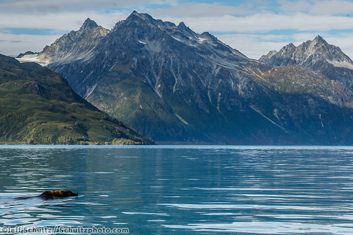 Fall landscape of grizzly bear swimming across Crescent Lake, Lake Clark National Park, Alaska.<br /> <br /> Photo by Jeff Schultz/SchultzPhoto.com  (C) 2018  ALL RIGHTS RESERVED<br /> <br /> 2018 Bears, Glaciers and Fall Colors Photo tour/workshop