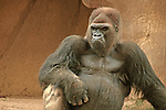 Thoroughly Disgusted Gorilla!