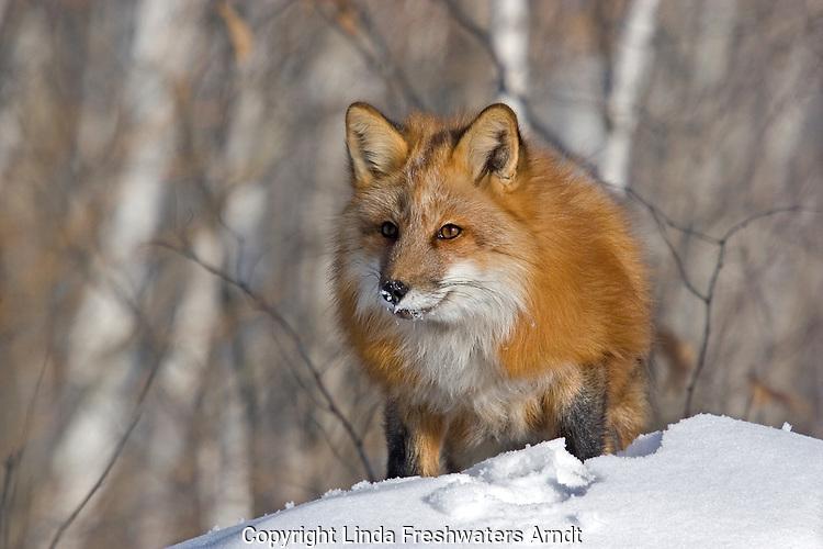 Red fox (Vulpes vulpes) walking in the snow.  Minnesota.
