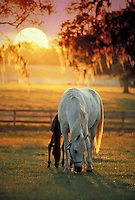 Arabian mare in pasture with foal by side lit by golden sun. Dawning, beauty, safety, serenity, hope. special effects, horse, horses, animals.