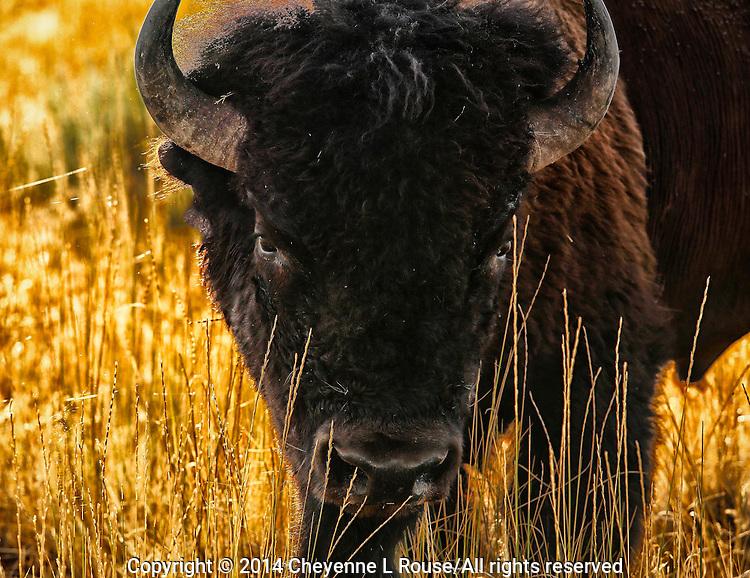 Angry Bison - Antelope Island SP - Utah