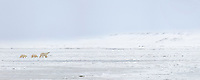 Panorama of polar bear sow and two cubs traversing the frozen Beaufort Sea Ice, Arctic, Alaska.