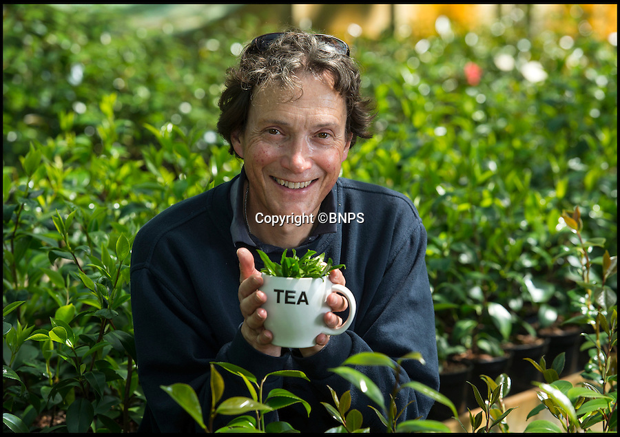 BNPS.co.uk (01202 558833)<br /> Pic: PhilYeomans/BNPS<br /> <br /> <br /> Simon Greenfield of Trehane Nursery in Wimborne, Dorset.<br /> <br /> Food miles craze reaches the traditional British cuppa...<br /> <br /> More and more Brits are growing tea in their own gardens in the quest for the ultimate  'homegrown' cuppa.<br /> <br /> With the 'grow your own' movement still in full swing, sales of Camellia sinensis - the common tea plant - are rocketing as gardeners realise it thrives in the UK's climate.<br /> <br /> Contrary to popular belief, tea plants don't require heat and humidity to grow, rather preferring temperate regions with plenty of moisture.<br /> <br /> The UK already boasts two tea plantations - one in Cornwall and the other in the Scottish Highlands - with a third planned for Northern Ireland.<br /> <br /> But now domestic gardeners are catching on to the idea of an on-demand supply of tea from their back gardens, and creating their own 'mini plantations' at home.<br /> <br /> And just like in traditional tea-growing countries like China and Africa, the young leaves of UK-grown plants can be picked in spring and used straight away to make green tea or dried to make regular black tea.