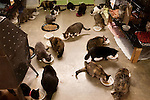 January 2, 2013. Pittsboro, North Carolina.. Feeding time in the main refuge building where over 260 cats currently live.. Siglinda Scarpa, originally from northern Italy, runs the Goathouse Refuge, a no kill shelter for cats. Scarpa, who is also a ceramic artist, runs the shelter with 5 full time employees and currently has over 260 cats in the refuge..