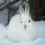 Snowshoe hare (Lepus americanus) in snow, winter pelage, subalpine forest, Rocky Mountain National Park near Bear Lake, March, morning, Colorado, USA