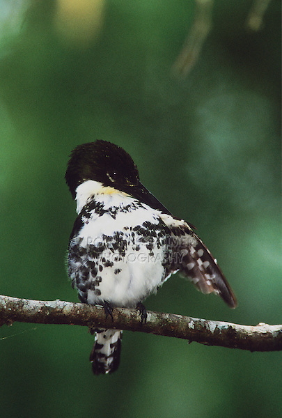 Green Kingfisher, Chloroceryle americana,female preening, The Inn at Chachalaca Bend, Cameron County, Rio Grande Valley, Texas, USA