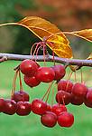 3045-CB Sugar Tyme Crabapple, Malus Sugar Tyme at Lyndale Garden Park, Minnesota.