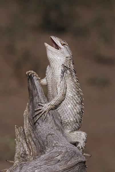 Texas Spiny Lizard (Sceloperus olivaceus), adult in defense pose, Starr County, Rio Grande Valley, Texas, USA