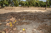 Yellow Cashew Apples and Nuts Lying on the Ground, near Sokone, Senegal.  Apples must be allowed to fall and should not be picked from the trees, but must be collected quickly once they are on the ground.  This is an example of a well-tended farm, where underbrush has been removed and low branches have been pruned from the trees, facilitating movement underneath the trees.