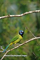 01291-00408 Green Jay (Cyanocorax yncas) in tree Laguna Atascosa NWR TX