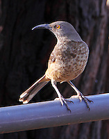 Adult curved-bill thrasher
