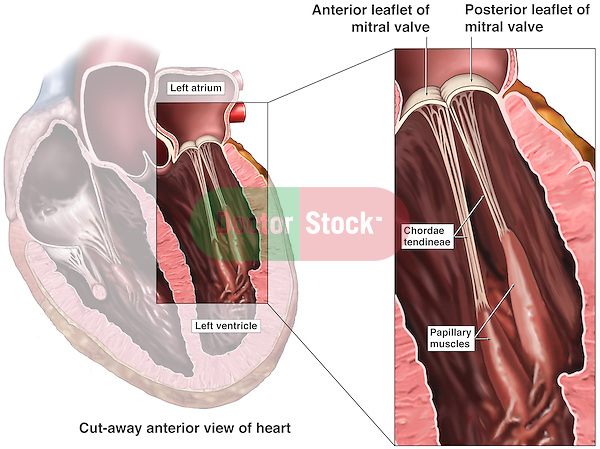This stock medical exhibit reveals an anterior cut-away view of the heart and a detailed enlargement identifying the location and anatomy of the mitral (bicuspid) valve located between the left atrium and left ventricle. labels include the anterior and posterior leaflets, chordae tendineae and papillary muscles.