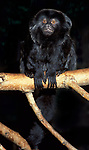 Goeldi's Marmoset, monkey (Callimico goeldii) - captive, Ecuador, columbia, tropical jungle