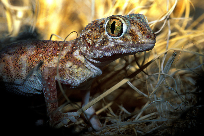 Giant Ground Gecko Chondrodactylus angolefer Namibia