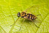 Ornate Snipe Fly (Chrysopilus ornatus) - Female, Ward Pound Ridge Reservation, Cross River, New York