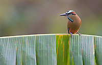 The beautiful Turquoise-browed motmot is the national bird of both El Salvador and Nicaragua.