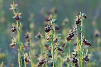Small Spider Orchid, Ophrys araneola,blossom, National Park Lake Neusiedl, Burgenland, Austria, April 2007