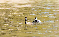 Male and female Lesser Scaups, Aythya affinis, swimming on Upper Klamath Lake, Oregon
