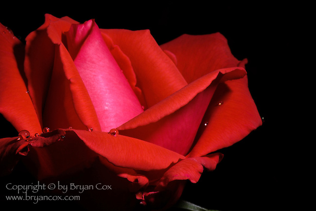 Raindrops on a red rose, Portland Rose Garden, Oregon