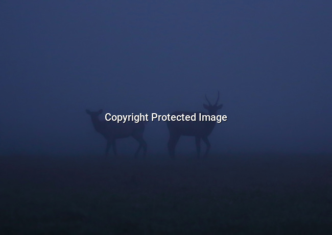 Rocky Mountain elk in the early AM fog near North Bend, Wa.