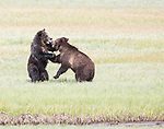 Grizzly bears play fight in Yellowstone.