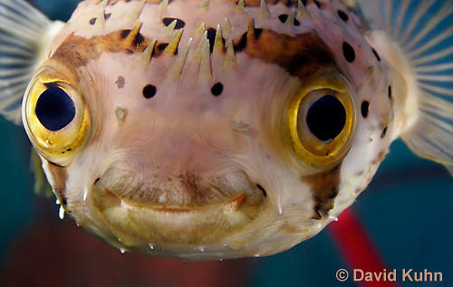 0228-1005  Porcupine Pufferfish (Spiny Balloonfish), Diodon holocanthus  © David Kuhn/Dwight Kuhn Photography.