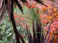 Raindrops on Miscanthus junceus, after the rain, November tapestry in my garden with Phormium and Cotinus 'Grace'