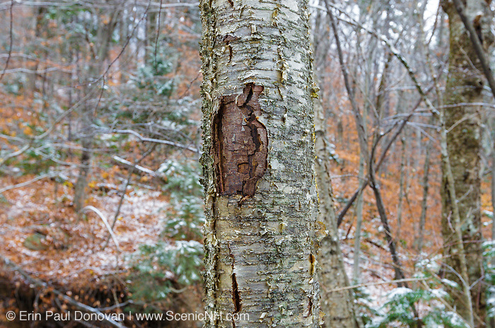 October 2013 - A tree wound on a yellow birch tree along the Mt Tecumseh Trail in New Hampshire. This wound is the result of man not properly removing a painted trail marker (blaze) from the tree. The blaze was painted on the tree in 2011, and then improperly removed from the tree in the spring of 2012. The bark, where the blaze was, was cut and peeled away creating a tree wound.