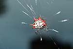 Spiny orb-weaver spider, Gasteracantha cancriformis,  Florida