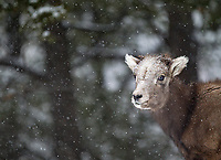 A young bighorn sheep endures its first Yellowstone winter.