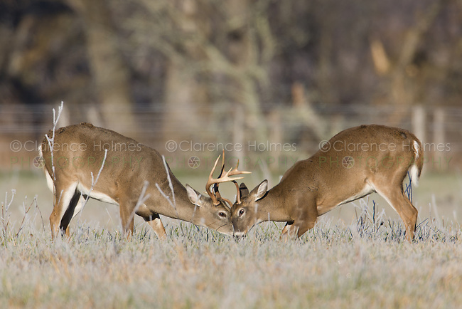 Young white-tailed deer bucks fight for dominance during the fall rut