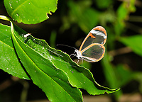 Glasswing Butterfly, Greta morgane, perched on a leaf at Bosque Eterno de los Niños (Children's Eternal Rainforest), Monteverde, Costa Rica