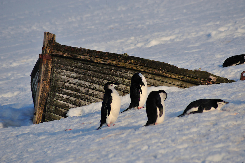 On Half Moon Island.  Colonies of Chinstrap and Gentoo penguins
