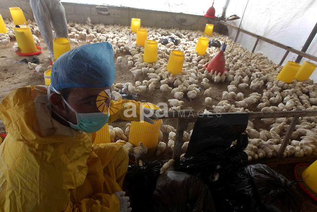 Palestinian workers combine chicks to cull it, in a farm in Deir al-Balah in the central of Gaza strip on Feb. 05, 2013. Palestinian ministry of Agriculture culled 10,000 smuggled chicks through the tunnels between Egypt and Gaza strip fear of being infected with bird flu. Photo by Ashraf Amra
