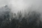 coast redwood forest in rain