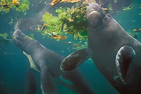 Amazonian manatees, Trichechus inunguis ( c ), showing the white ventral markings unique to this species of manatee, INPA/LMA, Amazonas, Brazil