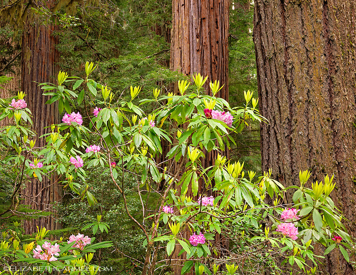 Wild Rhododendrons III