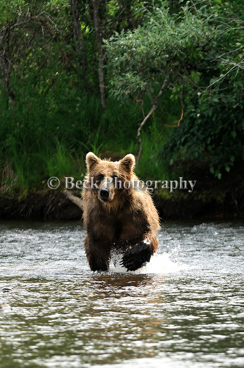 A grizzly bear, Ursus arctos horribilis, runs across the river in Alaska.