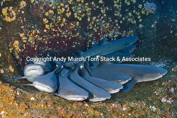 Whitetip Reef Shark, Triaenodon obesus, Roca Partida, Socorro, Revillagigedo Islands, Mexico, Eastern Pacific.